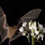 Scientist and tequila and mezcal producers creating a bat friendly spirit